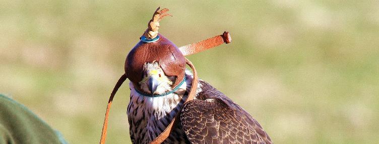 La falconeria…inquinata