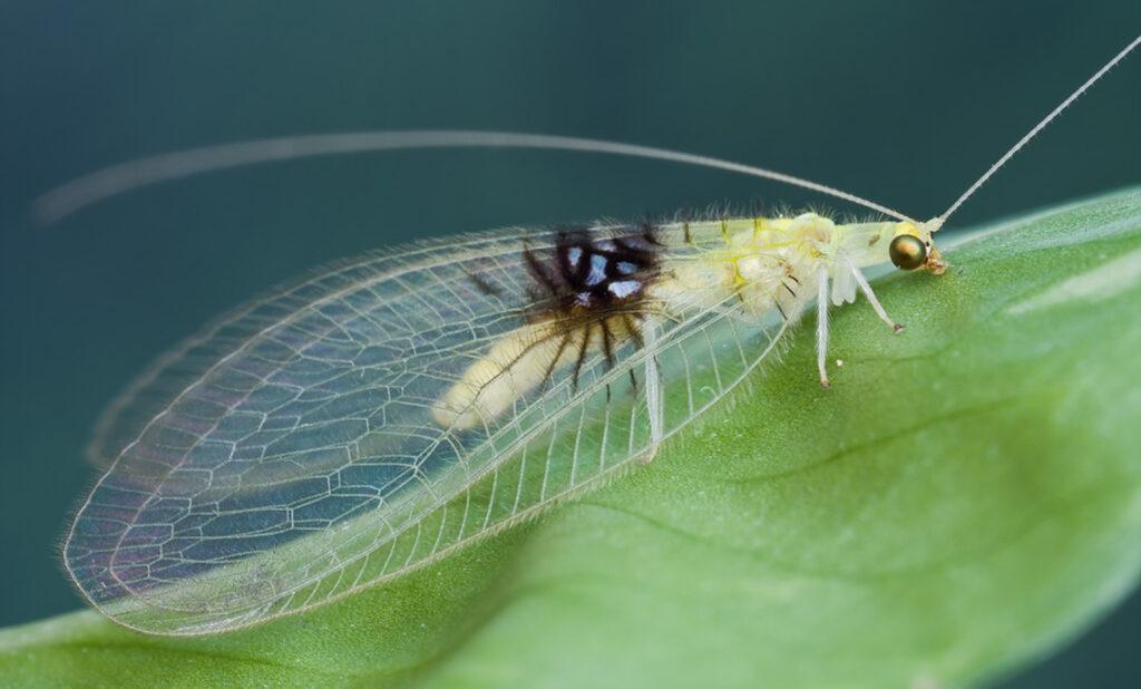 Semachrysa jade femmina