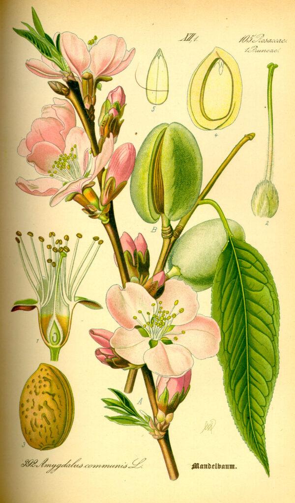 Questa immagine ha l'attributo alt vuoto; il nome del file è Illustration_Prunus_dulcis0-600x1024.jpg