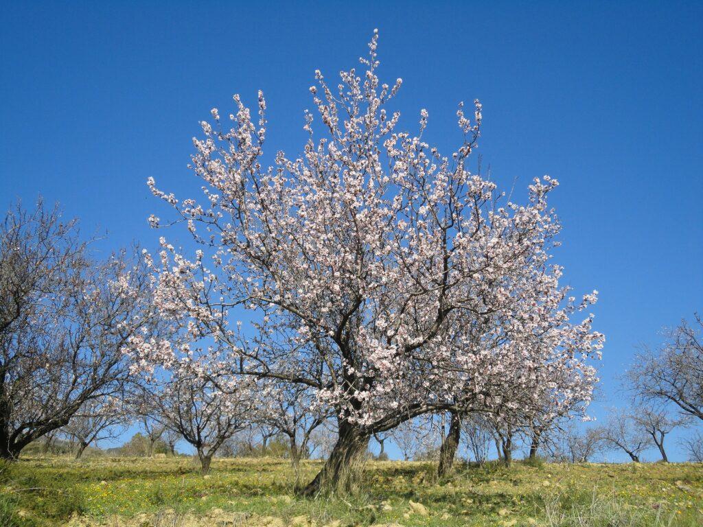Questa immagine ha l'attributo alt vuoto; il nome del file è almond-blossom-Foto-di-Dieter-Ludwig-Scharnagl-da-Pixabay-1-1-1024x768.jpg