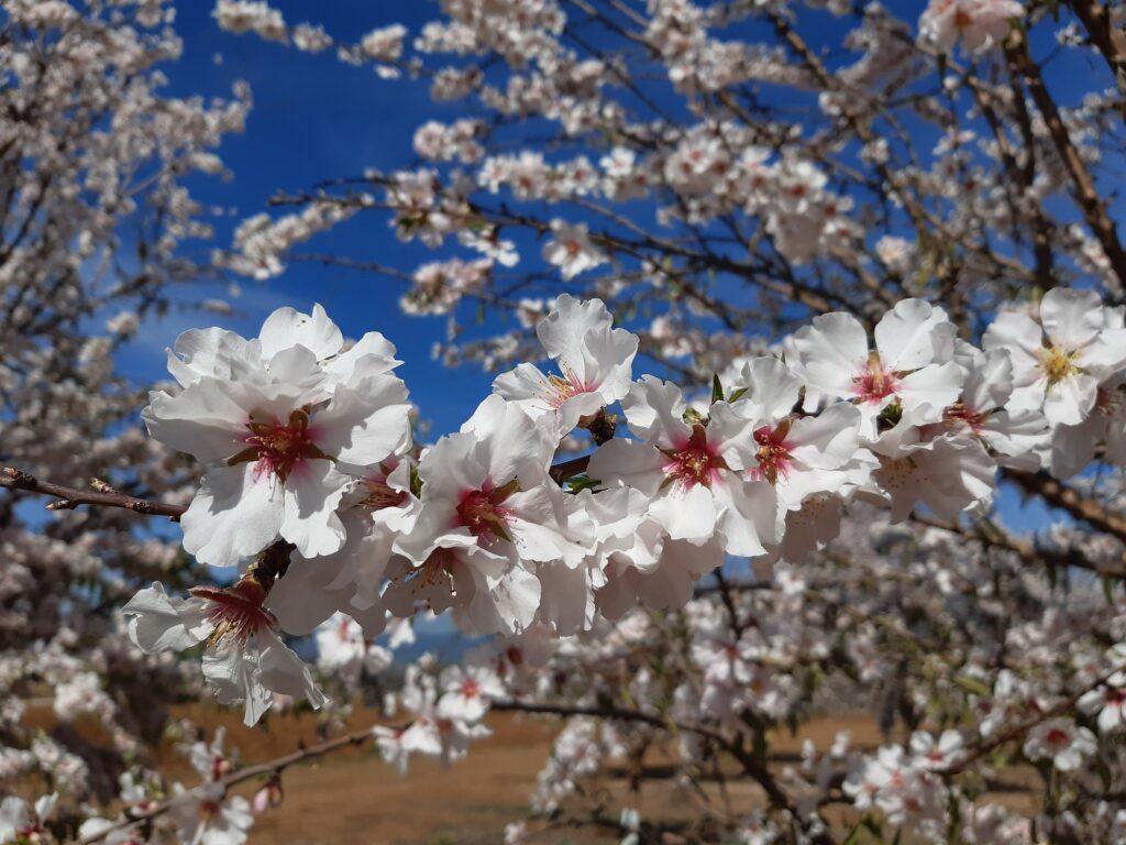 Questa immagine ha l'attributo alt vuoto; il nome del file è almond-tree-fiori-Foto-di-Ana-Paneque-da-Pixabay--1024x768.jpg